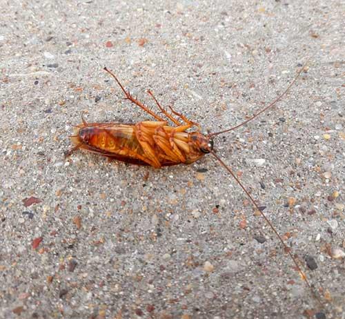 Дихлофос эффективно уничтожает тараканов