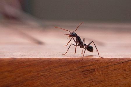 Средство от комнатных муравьев