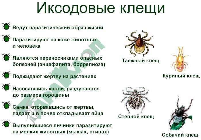 Виды иксодовых клещей и их образ жизни