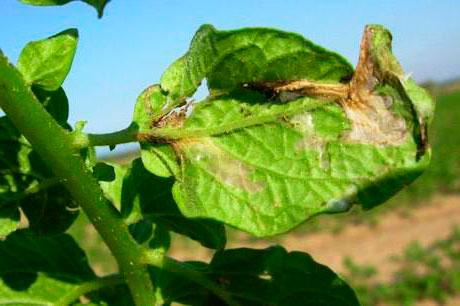 Повреждение листьев картофельной молью