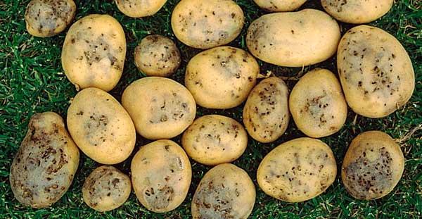 Поврежденная картошка проволочником