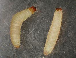 Личинки пищевой моли на фото (белые червяки)