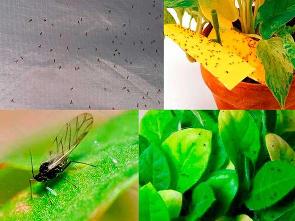 Как избавиться от мошек в комнатныхцветах