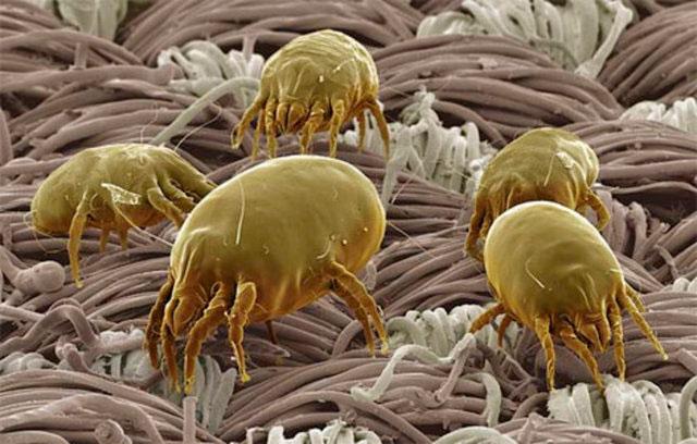 Пылевые клещи фото под микроскопом