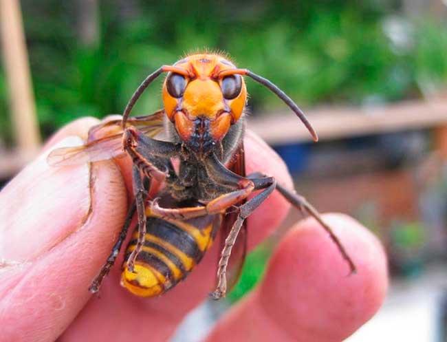 Японский шершень - воробей пчела