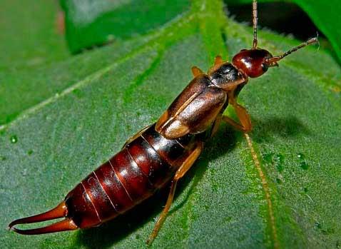 Тараканы с двумя хвостами