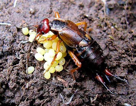 Уховертка откладывает икру (личинки двухвостки)
