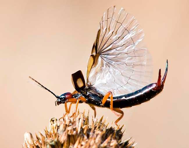 Крылья уховертки на фото