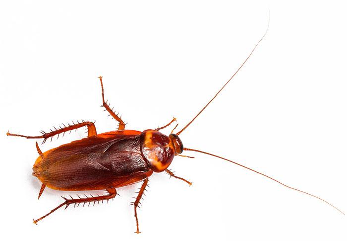 Американский таракан на фото