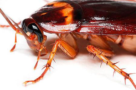 Американские тараканы - фото