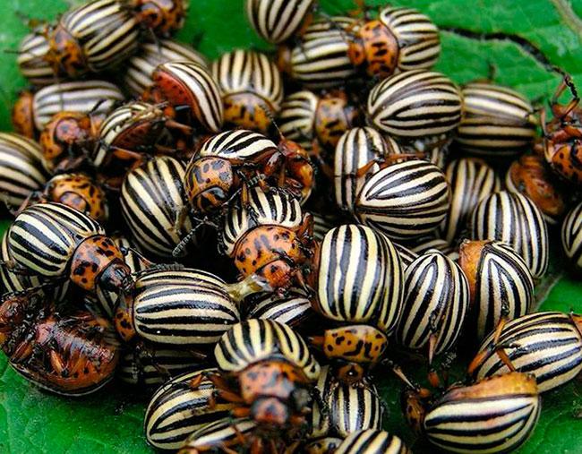 Средства и методы борьбы с колорадскими жуками