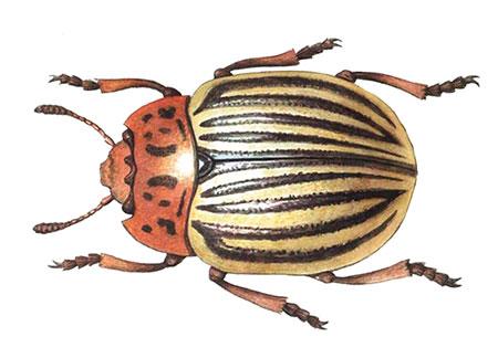 Как выглядит колорадский жук - фото