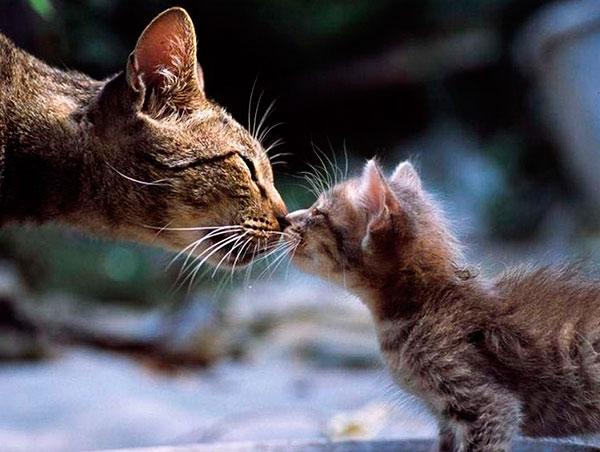 Как происходит заражение кошки ушным клещом?