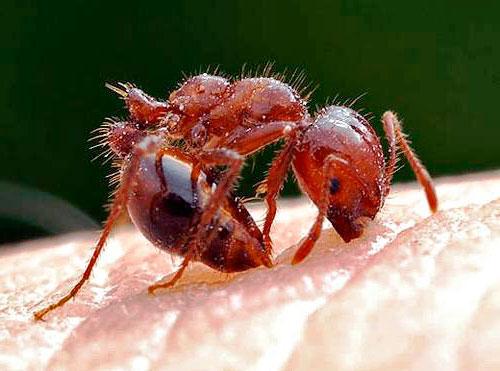 Укус муравья на фото - как кусает муравей?