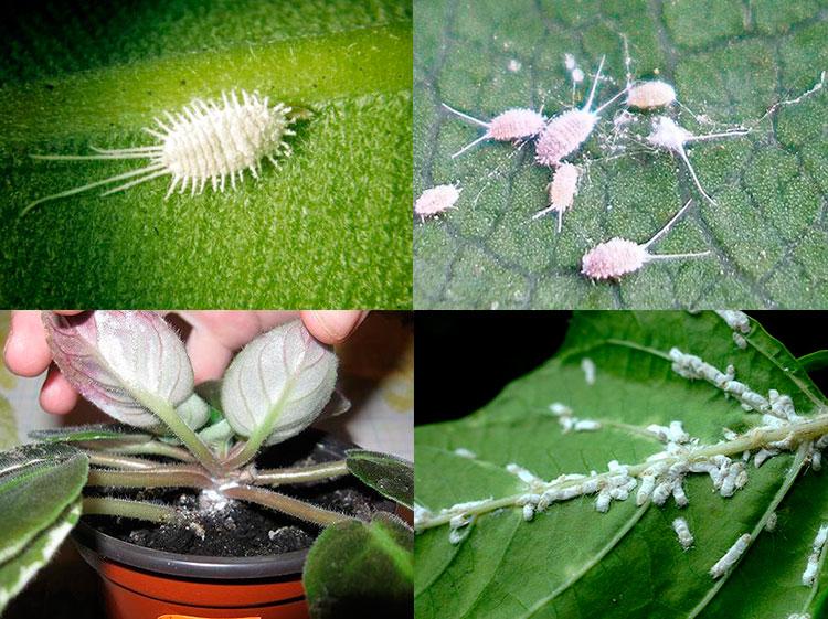 мучные червецы в домашних растениях - как избавиться