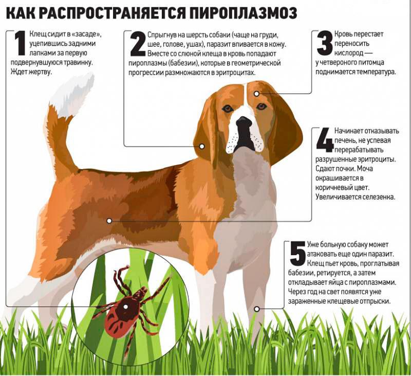 Укус клеща у собаки: симптомы, последствия, лечение