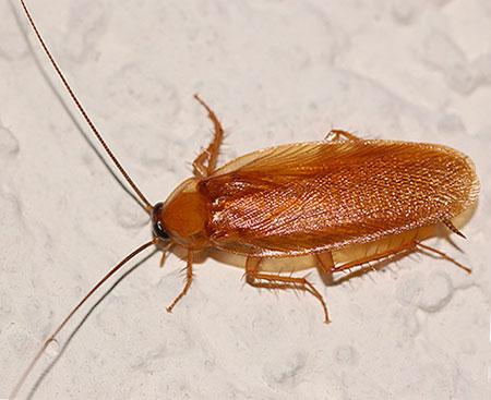Снится рыжий таракан - что это значит?