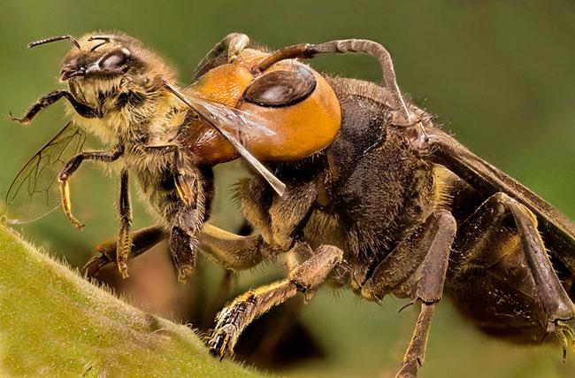 Шершни уничтожают пчел. Как избавиться от шершней на даче?