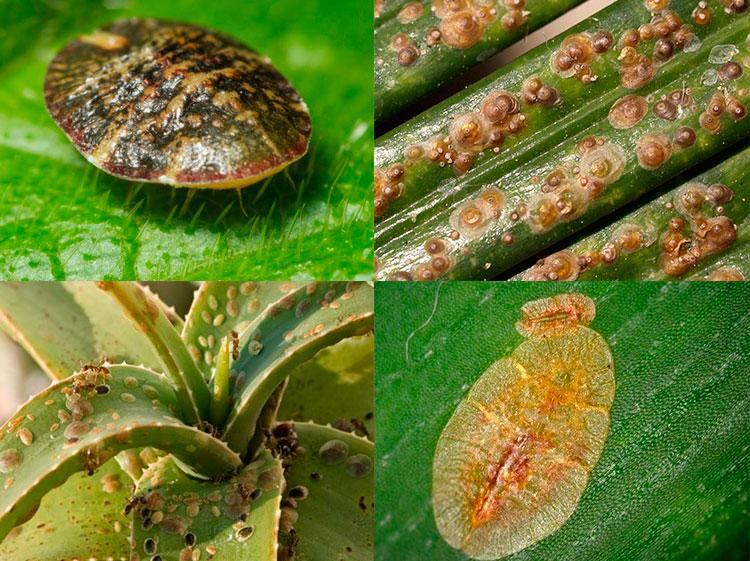 Вредители домашних растений фото