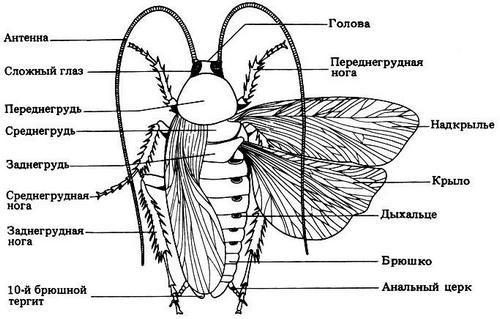Виды тараканов, образ жизни, среда обитания и поведение