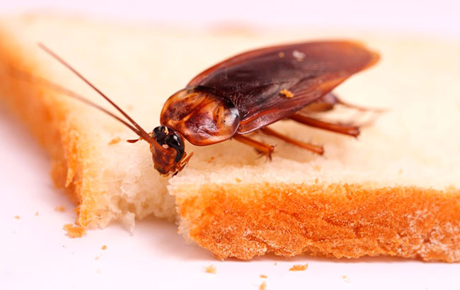 Домашние тараканы питаются остатками пищи со стола и в мусоре