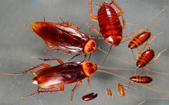 Американские тараканы - жизненный цикл