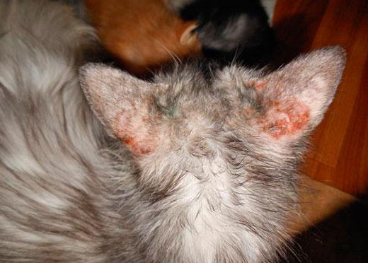 Ушной клещ у кошек: симптомы и лечение отодектоза в домашних условиях