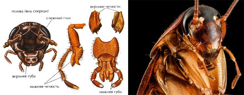 Строение челюстей тараканов