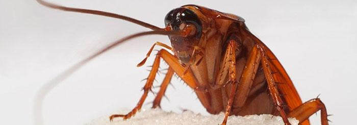 Факты о тараканах - самые интересные