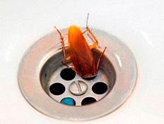 Таракан из канализации переносит множество опасных болезней