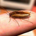 Кусаются ли тараканы и как выглядит укус?