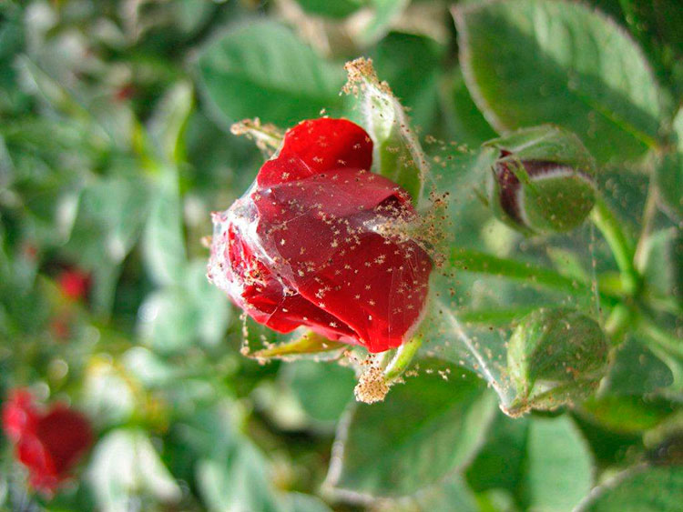 Паутинный клещ на розе: как бороться