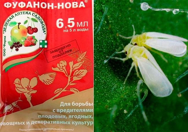 Фуфанон от белокрылки в теплице на томатах и огурцах