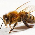 Апитерапия – лечение укусами пчел 🐝