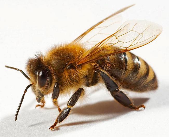 Апитерапия – лечение укусами пчёл