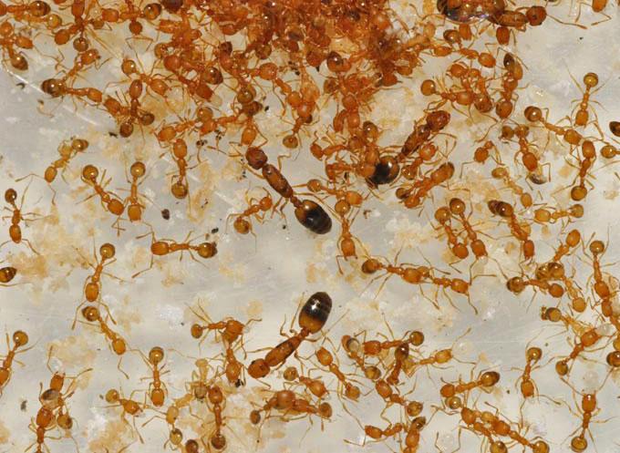 Чем вывести навсегда домашних маленьких рыжих и черных муравьев из квартиры и частного дома?