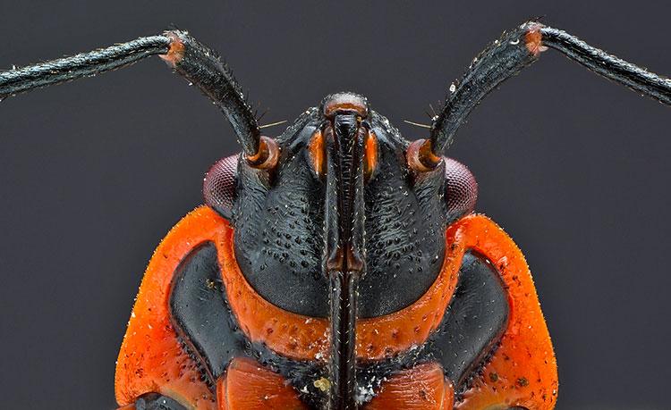 Клоп-солдатик (красноклоп) под микроскопом (фото хоботка)