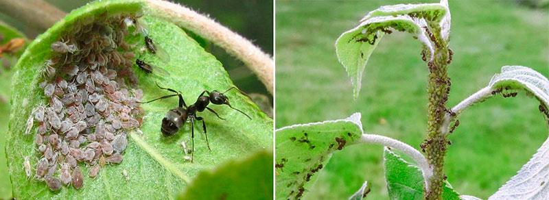 Вред от черных садовых муравьев - распространяют тлю