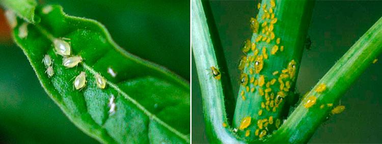 Тля на орхидее - как выглядит (фото) и как от нее избавиться?