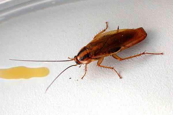 Гель от тараканов - состав и способы применения, отзывы