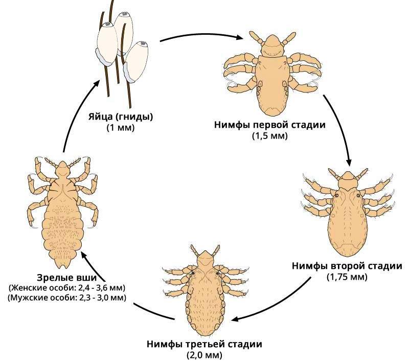 Жизненный цикл вшей - этапы развития: гнида - нимфа - вошь