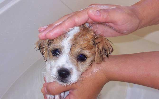 Блохи у щенка - как от них избавиться и вывести в домашних условиях