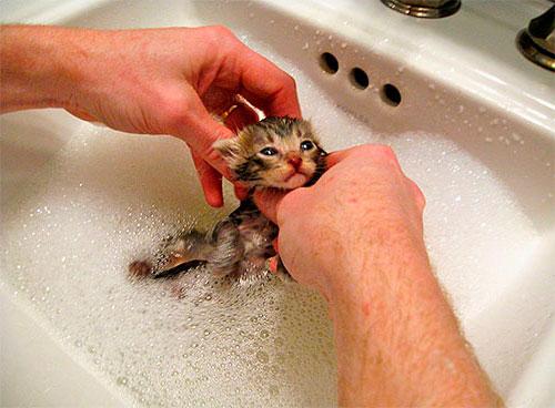 Помыть котенка с шампунем от блох