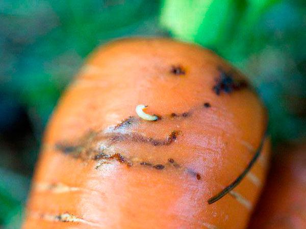 Личинка морковной мухи - вредитель моркови и огорода на дачном участке