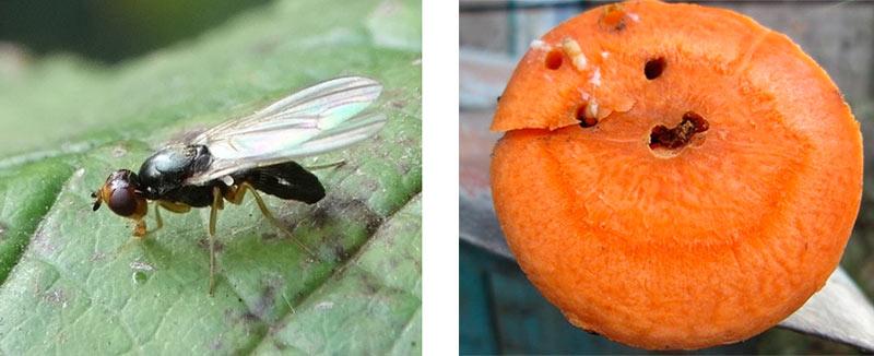 Морковная муха - вредитель огорода (фото и описание)