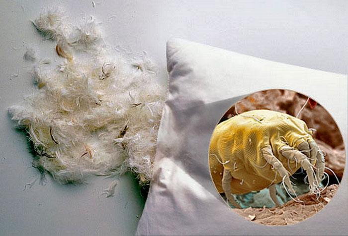Пылевые постельные клещи чаще всего живут в подушках