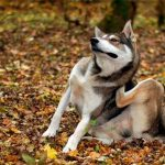 Собака чешется, но блох нет – в чем причина и что делать?
