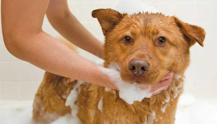 Помойте собаку с шампунем против блох