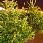 Клещи в новогодней ёлке – правда или миф?