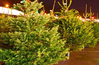 Клещи на елке - правда или выдумки?